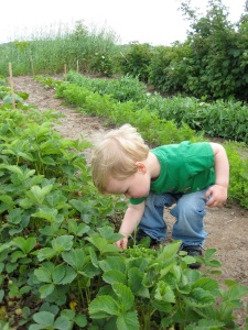 rowanstrawberrypicker