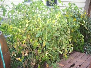 tomatoes0903