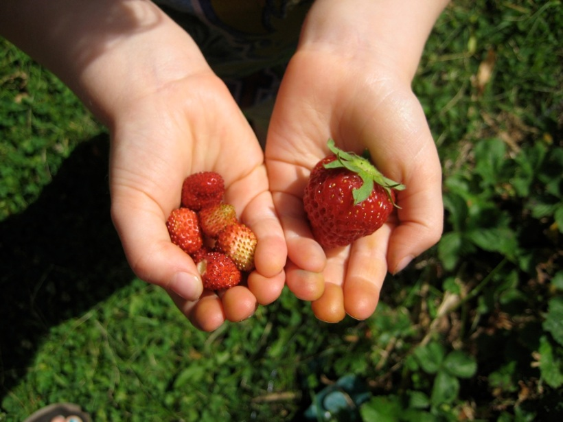 comparing alpine strawberries with regular