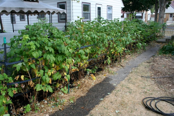 raspberry plants with compost