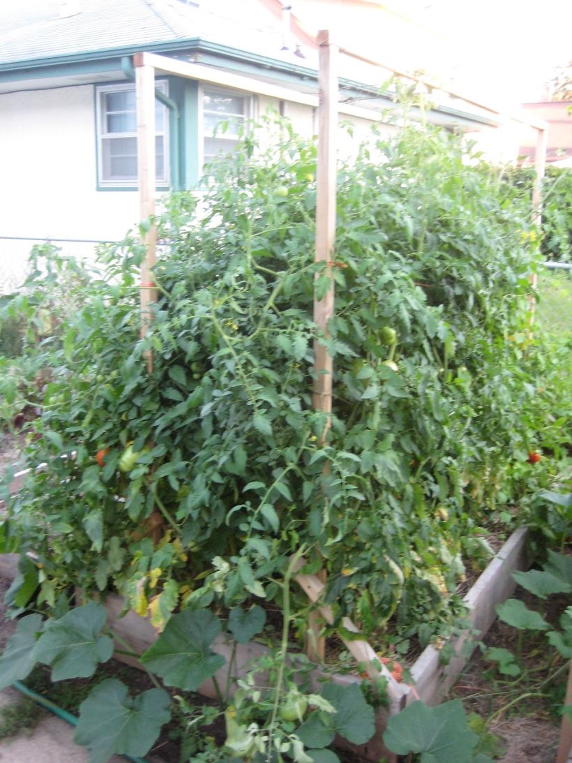 tomato trellis system