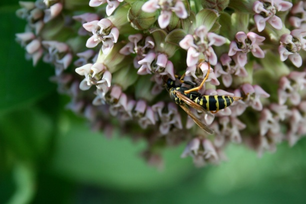 Bee on milkweed flower