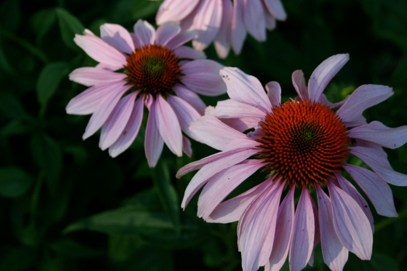 Who doesn't love a purple coneflower