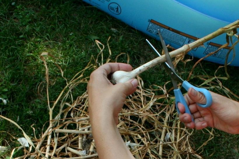 trimming hard neck garlic