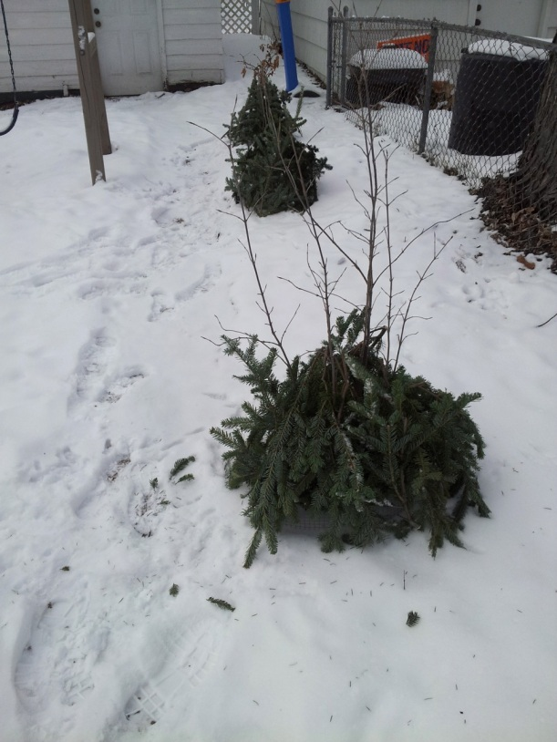 Christmas tree branch mulch on viburnums, via The New Home Economics blog