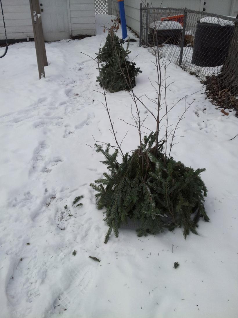 Christmas tree branch mulch on viburnums, via The New Home Economics blog