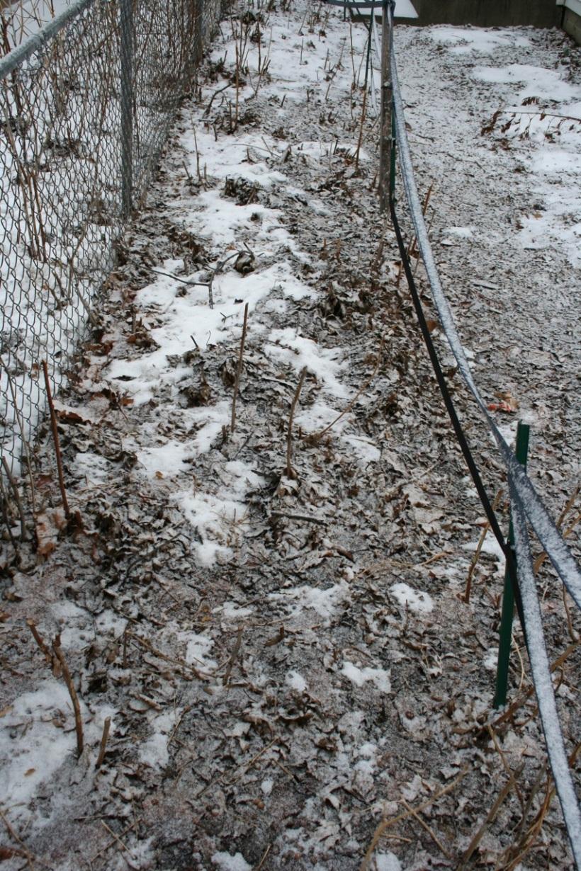 Raspberry hedge decimated by rabbits, via the New Home Economics blog