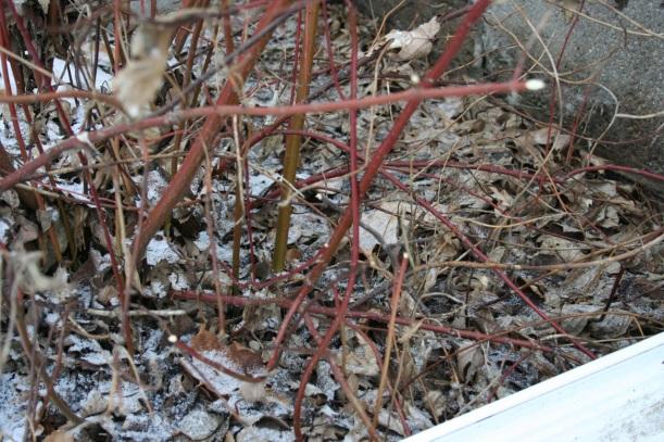 Red-twig dogwood with rabbit damage, via the New Home Economics blog