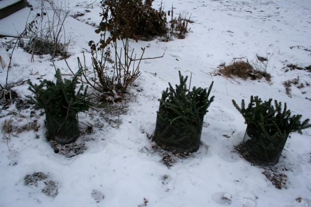 Blueberries with protective Christmas tree mulch, via The New Home Economics blog