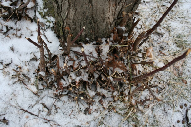 Rabbit damage on crabapple shoots, via The New Home Economics blog