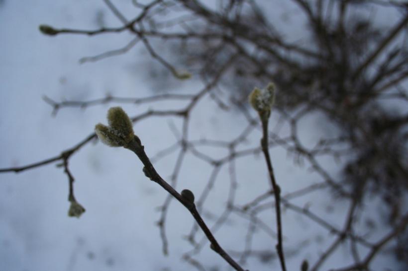 Magnolia in winter, via The New Home Economics
