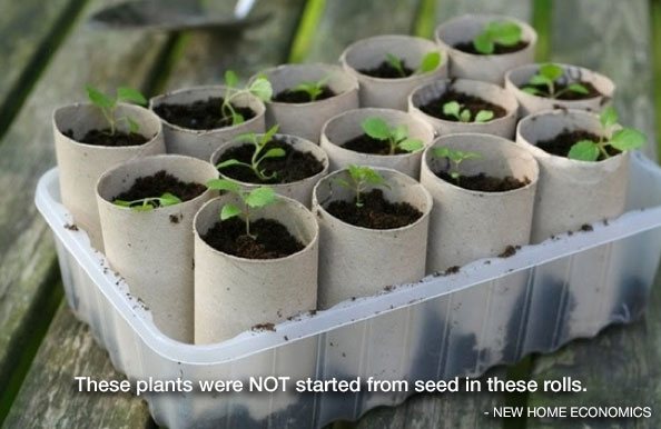 Guidelines for using toilet paper rolls for starting seeds