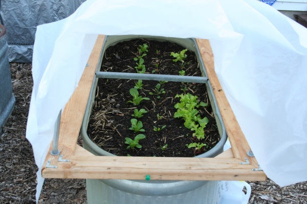Lettuce and other greens in a hoop house garden