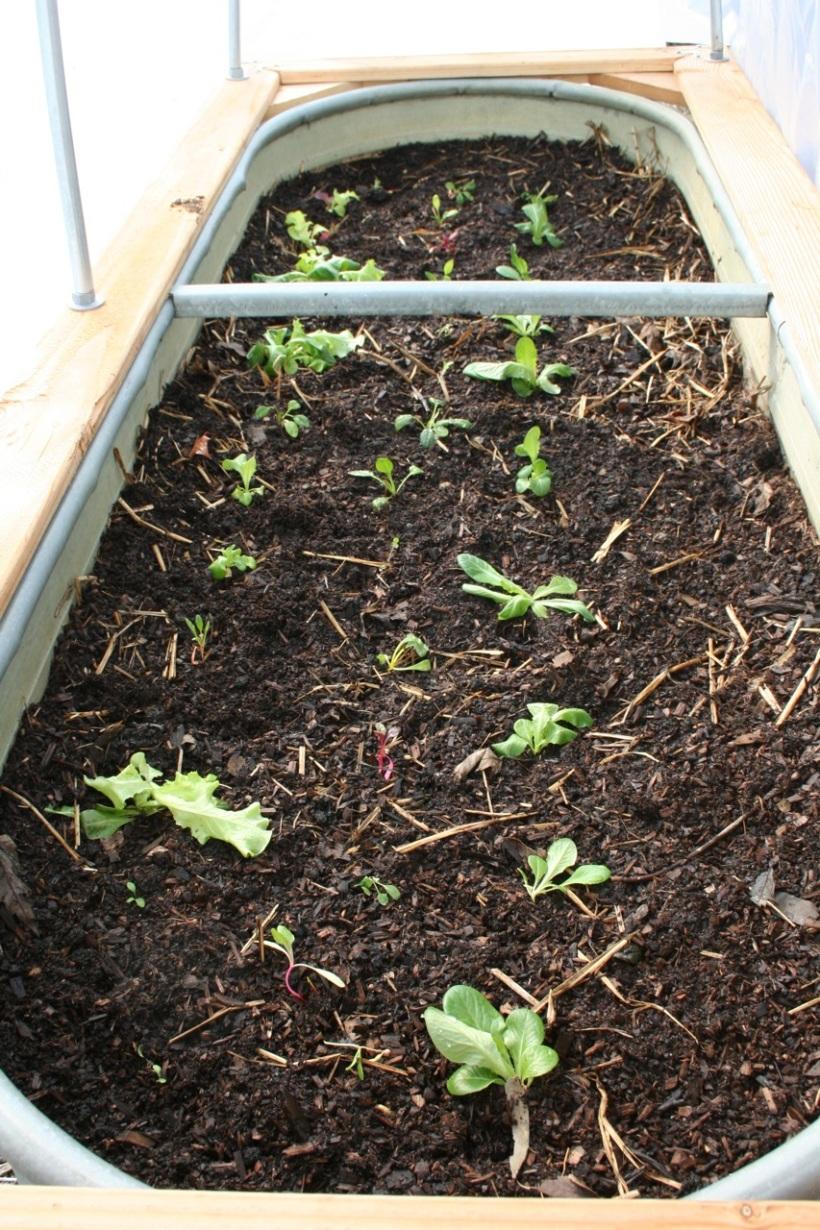 Lettuce hoop house!