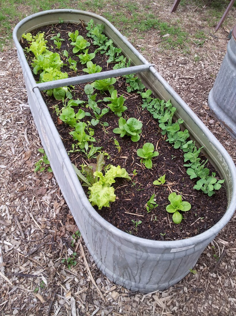 Lettuce in a stock tank garden, via New Home Economics