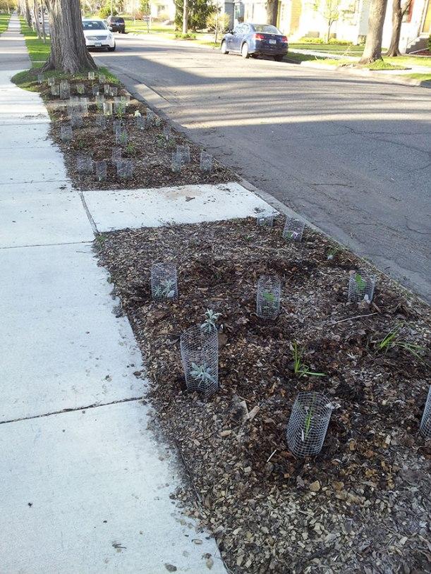 Beginnings of a native prairie boulevard garden