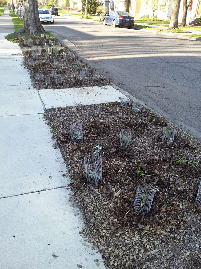 Beginnings of a native prairie boulevard garden