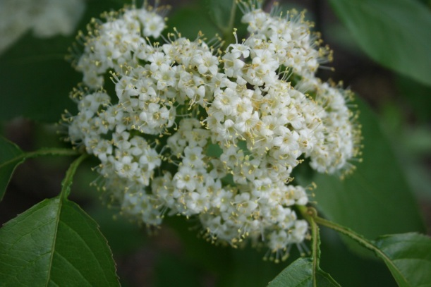 Nannyberry in bloom (viburnum lentago)