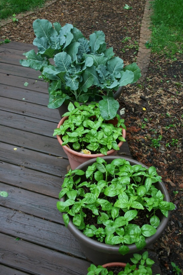 Broccoli and basil in pots