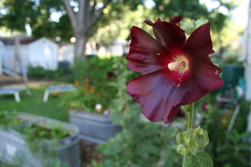 Hollyhocks, via The New Home Economics