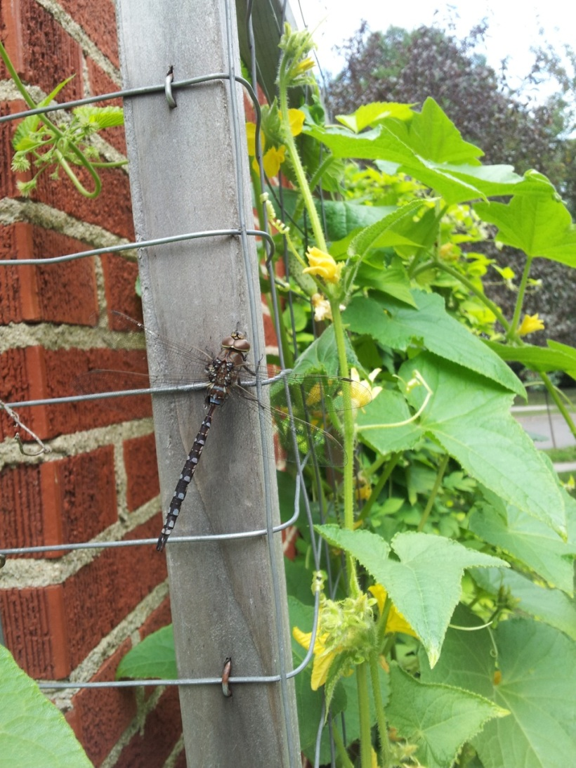 Canada darner dragonfly, via the New Home Economics
