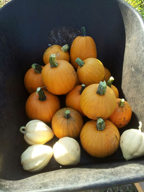 Pumpkins and white acorn squash, via The New Home Economics