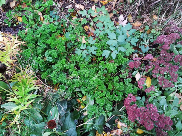 Autumn parsley patch, via The New Home Economics