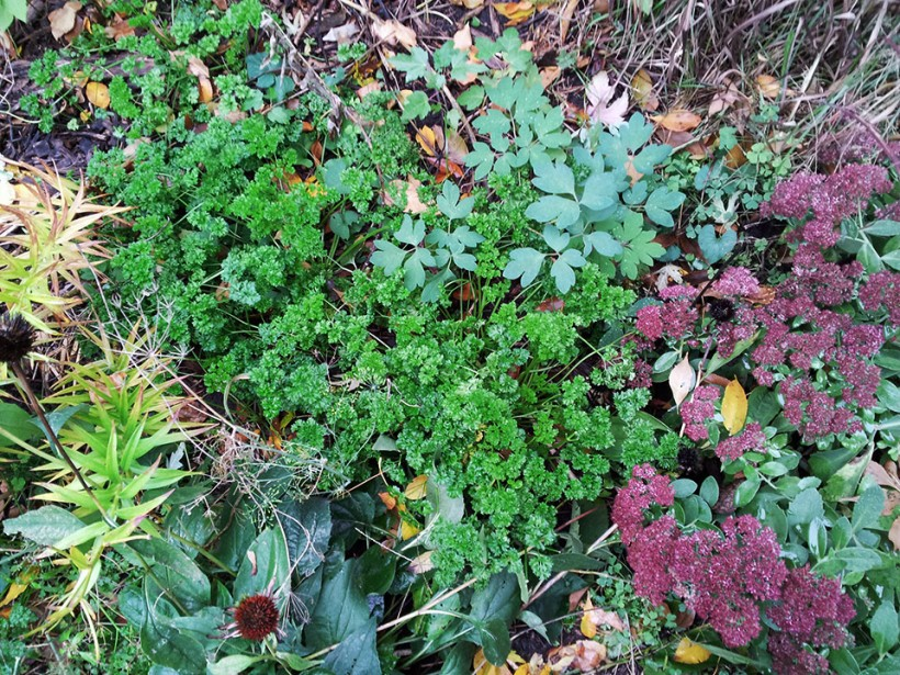 Autumn parsley patch, via The New Home Economics