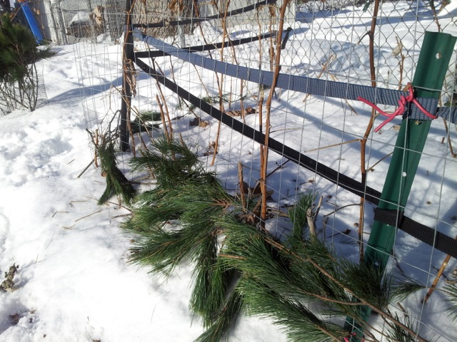 Christmas tree branches as mulch