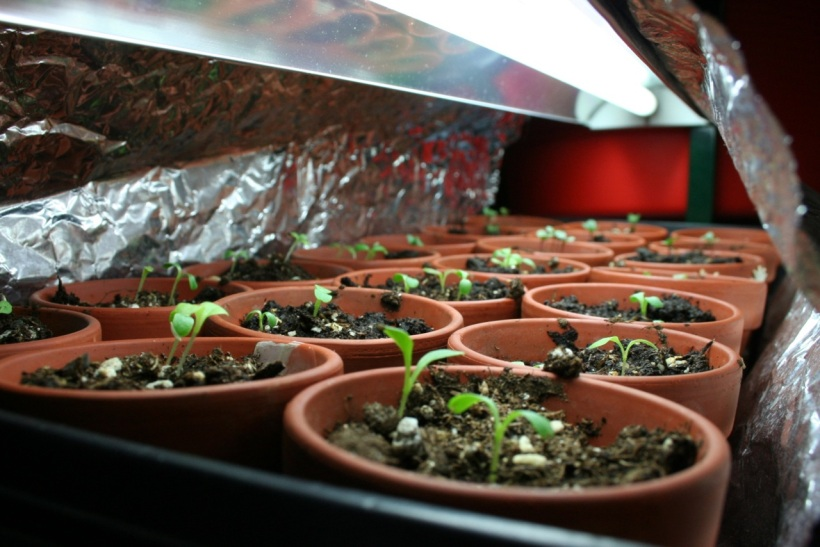 Sprouted lettuce!