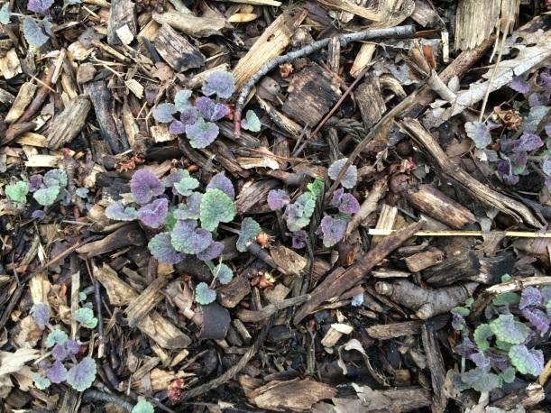 Baby Anise Hyssop plants