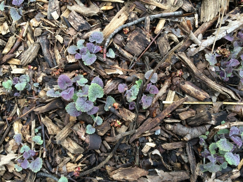 Baby Anise Hyssop plants