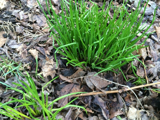 Chives in early spring
