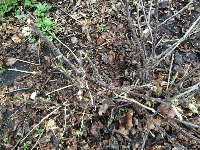 Currant bush with rabbit damage