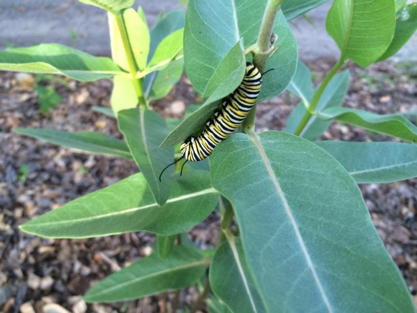 Monarch on silkweed
