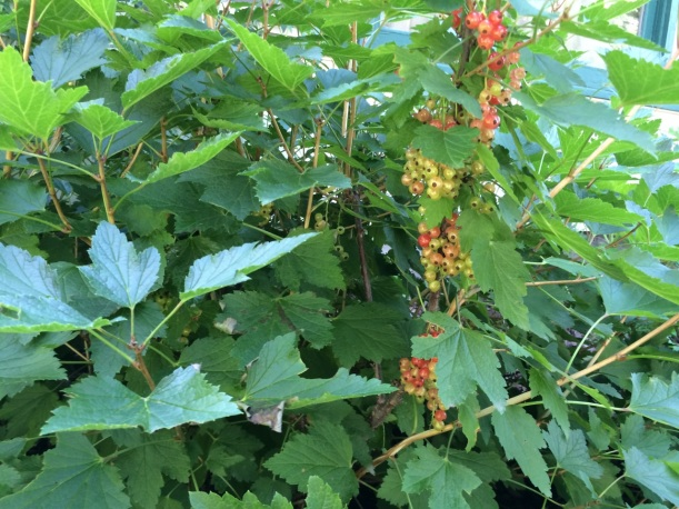 Red Lake currants