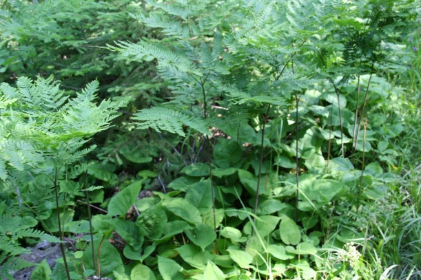 Tall ferns with leafy green plants underneath