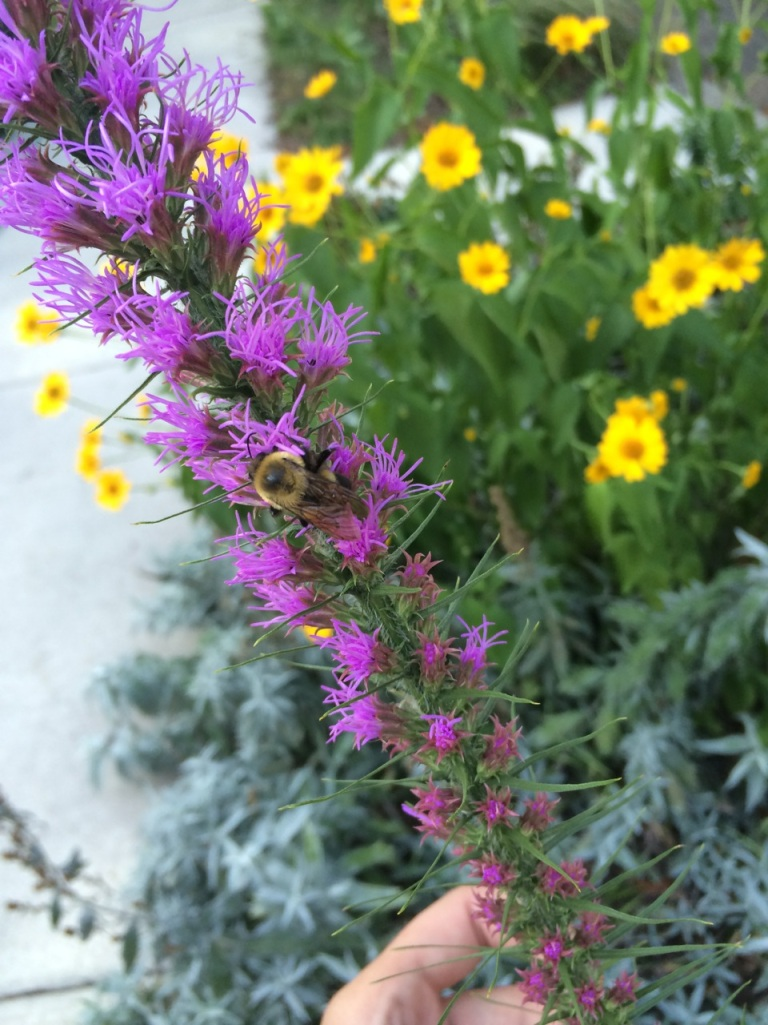 Bee on Prairie Blazing Star