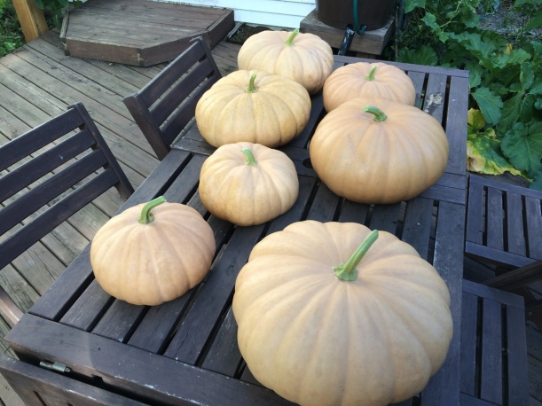Long Island Cheese Pumpkins