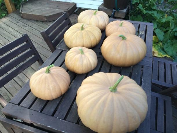 Long Island Cheese Pumpkins