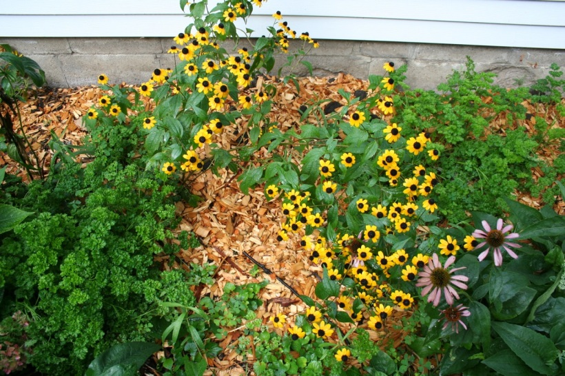 Parsley and black-eyed susans