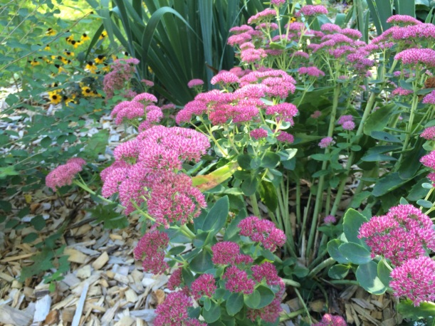Autumn Joy Sedum, via The New Home Economics