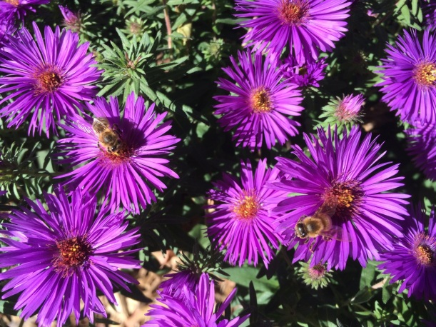 Purple Dome Aster with honey bees, via The New Home Economics