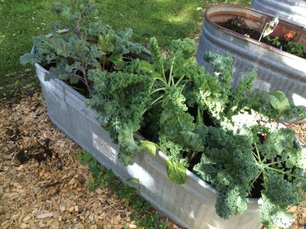 Kale in a stock tank