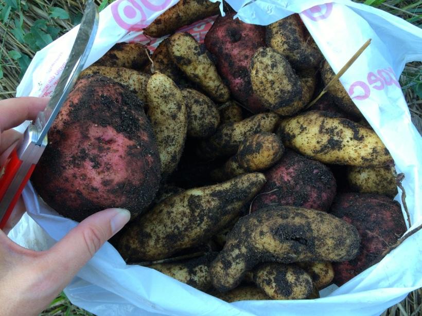 Potato harvest at Sabathani Community Garden