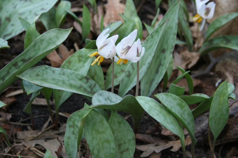 Trout Lilies at Eloise Butler Wildflower Garden