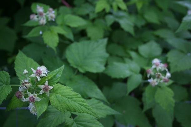 Raspberry flowers