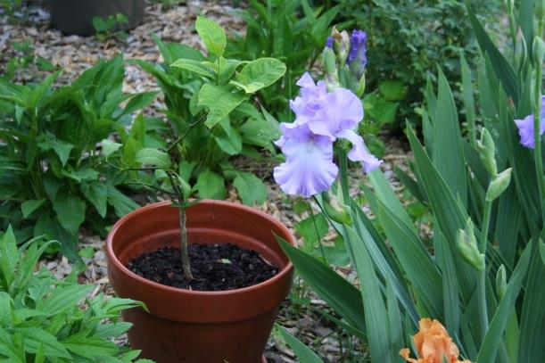 Lemon tree and irises