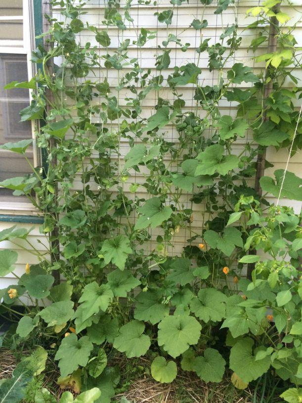Interplanting cucumbers and snow peas