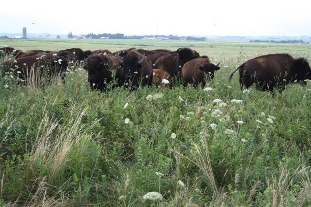 Bison at Blue Mounds State Park